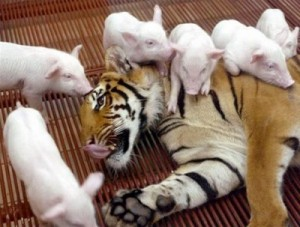 tiger-and-piglets-two